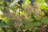 025. Живая крыша из гроздьев винограда от зноя и жары