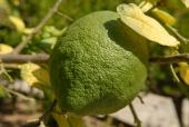 051. Пожилые монахини монастыря этим сортом лимонов лечат повышенное артериальное давление
